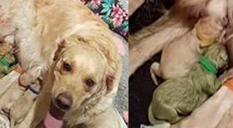 અહો વૈચિત્રમ: આ કૂતરાએ લીલા રંગના ગલૂડિયાને આપ્યો જન્મ