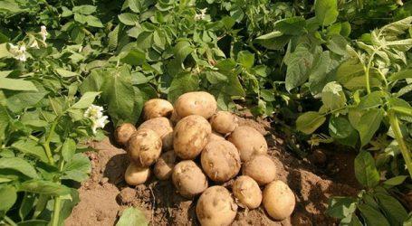 બટાટાની માંગ વધતા ખેડૂતો અને વેપારીઓના ચહેરા પર ખુશી
