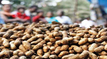 ખેડૂતો અાનંદો : અેક લાખ ટન મગફળીની ખરીદી માટે કેબિનેટની મંજૂરી