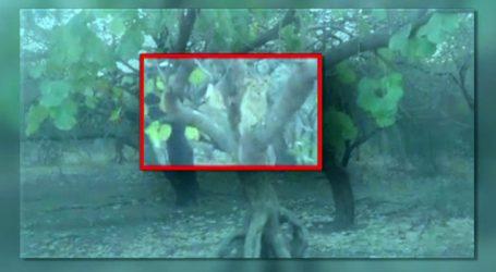 ખાખરાના ઝાડ પર ચઢતા સિંહનો VIDEO VIRAL !