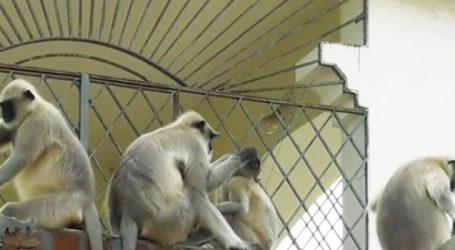 હિંમતનગરના એક ગામમાં ત્રણ દિવસથી બે વાંદરાનો આતંક, 8 લોકો ઘાયલ
