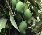 સાસણના ભાલછેલ ગામે એક ખેડૂતે એક જ આંબા પર 100 જાતની કેરી ઉગાડવાનો પ્રયાસ કર્યો