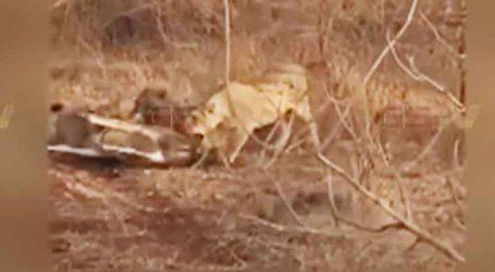 Video : સિંહણોને જીવતી ગાય મારણ તરીકે પિરસાઈ!