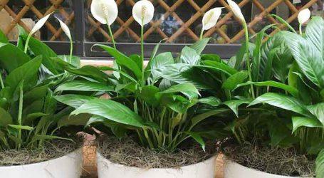 ફેંગશુઇ ટિપ્સ : ફેંગશુઇનો પ્રભાવ વધારશે ઘર આંગણે રહેલા છોડ