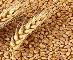ગુજરાતનો ઠેંગો, મધ્ય પ્રદેશે ઘઉંના ખેડૂતોને દેશમાં સૌથી ઊંચા ભાવ અપાવ્યા