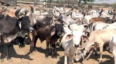કૉગ્રેસ : ગુજરાતની 667 ગૌશાળાને ભાજપ સરકાર દ્વારા સબસીડી અપાતી નથી