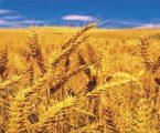ચાલુ નાણાંકિય વર્ષમાં દેશમાં કેટલું રહેશે ઘઉંનું ઉત્પાદન, જાણો એક ક્લિકમાં
