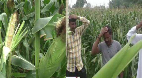 ખેડૂત નકલી બિયારણનો બન્યો ભોગ, મકાઇ પાંચ ફુટ ઉંચી થઇ પણ દાણા ન આવ્યા