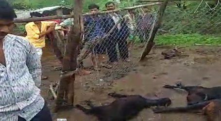 વિસળિયા ગામમાં જંગલના રાજા સિંહે 62 બકરાંની જયાફત ઉડાવી