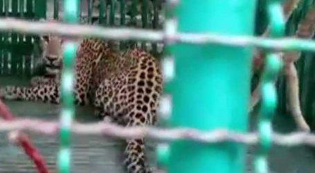 જેસરના કરજાળામાં બાળકને ફાડી ખાનાર નરભક્ષી દીપડો વનવિભાગે ઝબ્બે કર્યો