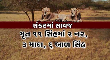 તો શું ગુજરાતનું ગૌરવ જતું રહેશે? જાણો 11 સિંહોના મોતનું વન વિભાગે શું કારણ આપ્યું