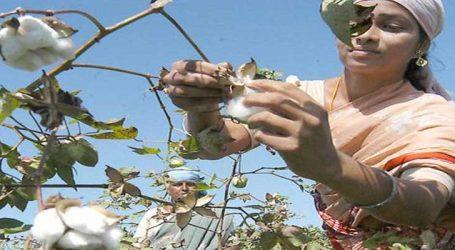 કપાસમાં ખેડૂતોને પહોંચેલા નુક્સાનનું વળતર બીજકંપનીઓ ચૂકવે, સરકારનો આદેશ