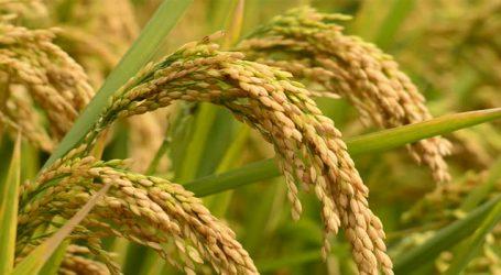 ગુજરાતના ખેડૂતોને ડાંગરની ખેતી ન કરવા માટે સરકારે આપી સલાહ