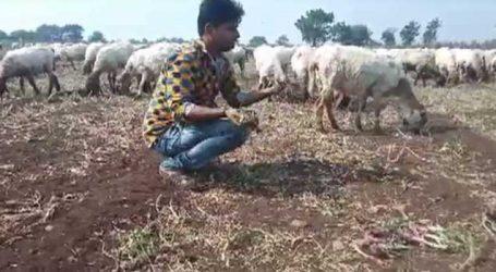 ઊનાના કાંધી ગામે ખેડૂતે ડુંગળીનો 7 વિઘાનો ઊભો પાક ઘેટાં-બકરાંને ચરાવી દીધો