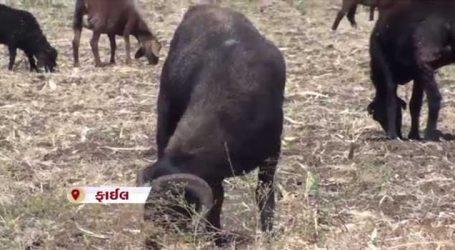 કચ્છથી આરબ દેશમાં મોકલાયેલા ઘેટાં-બકરાં મામલે હવે સરકાર જાગી