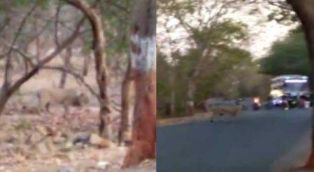 ગીરના જંગલમાં વનરાજાની શાહી સવારી, વીડિયો જોઈ તમે પણ થઈ જશો ચકિત્ત
