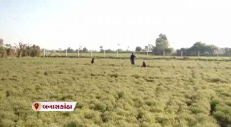 જીરાનું વાવેતર કરનારા ખેડૂતો માટે ચિંતા, વાતાવરણના કારણે થઈ શકે છે નુકસાન
