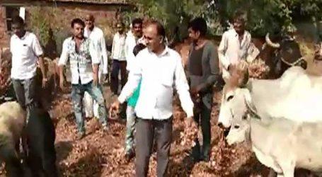 આને કહેવાય ડુંગળીએ રડાવ્યા, 40 ખેડૂતોએ ડુંગળીના ખેતરમાં પશુઓને છુટ્ટા મુકી દીધા