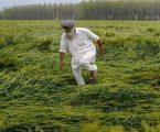 ઉત્તર ભારતમાં વરસાદ અને કરાથી ખેતીને ભારે નુક્સાન, રાઈ અને વટાણાનો પાકને ભારે અસર