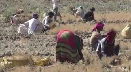 ગુજરાતનાં ખેડૂતોને ખરેખર રાતે પાણીએ રોવડાવ્યાં, પહેલા સિંચાઈનો અભાવ અને હવે માવઠું